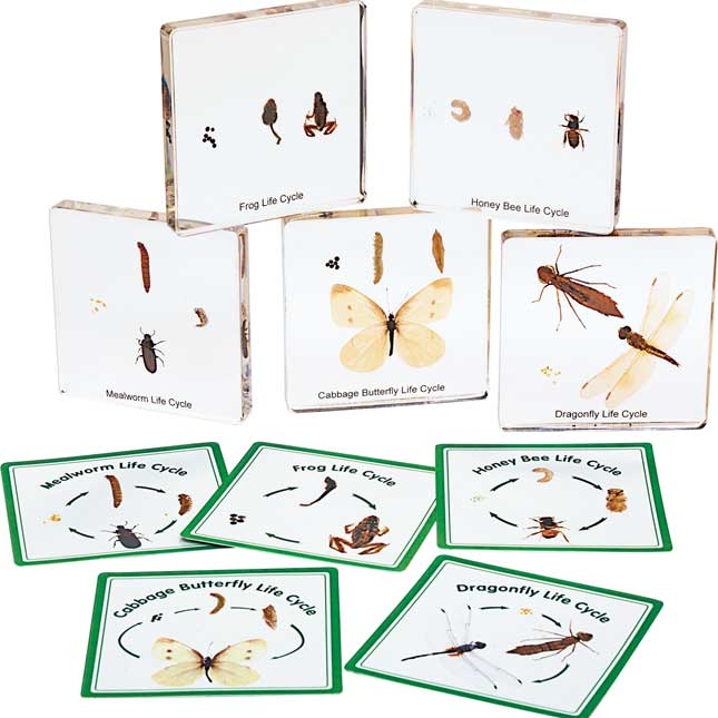 Excellerations Insect Life Cycle Specimens Set of 5