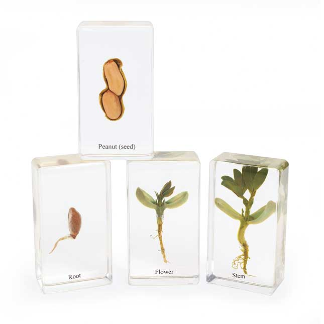 Excellerations Acrylic Peanut Life Cycle Set of 4